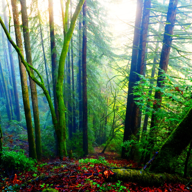 """""""Early Morning Redwoods"""" stock image"""