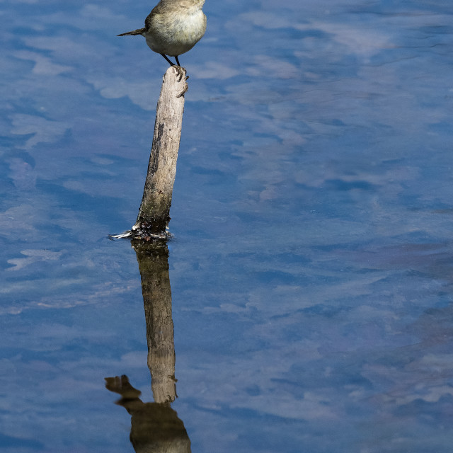 """""""Common chiffchaff on branch in water"""" stock image"""