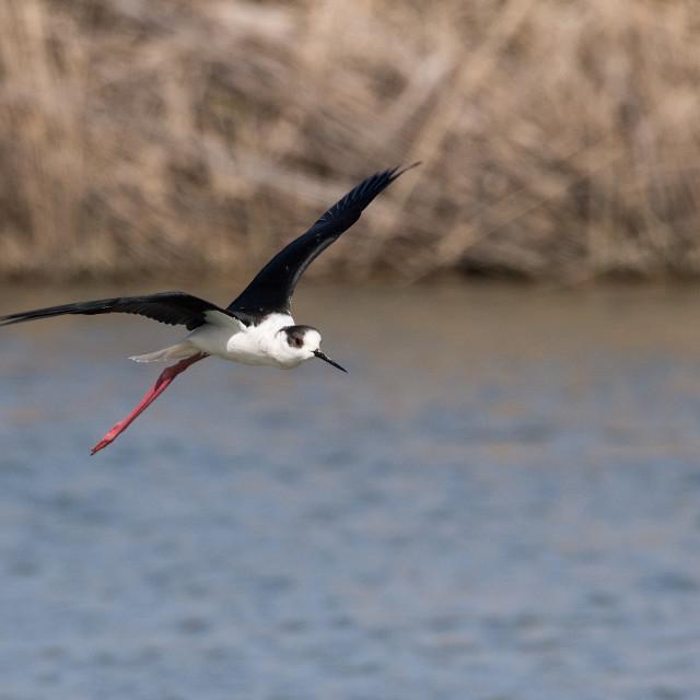 """Black-winged stilt in flight on the water"" stock image"
