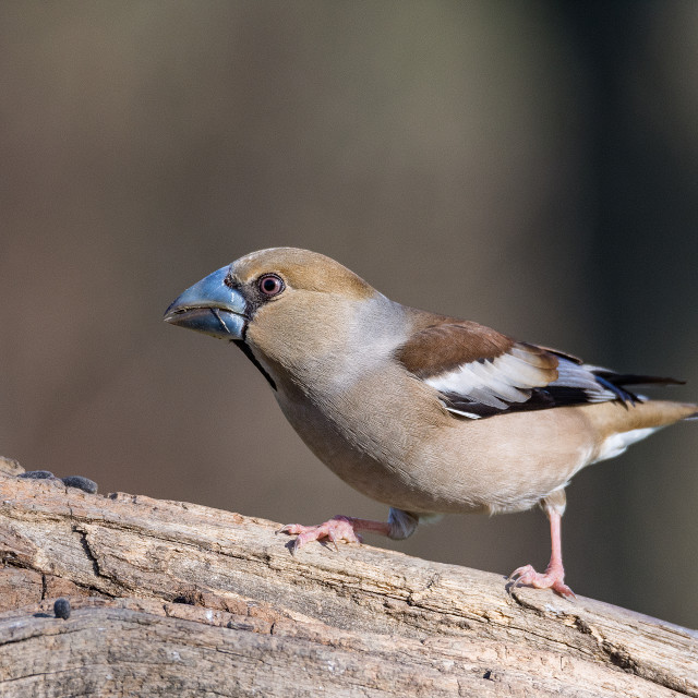 """""""The hawfinch (Coccothraustes coccothraustes) Frosone comune"""" stock image"""