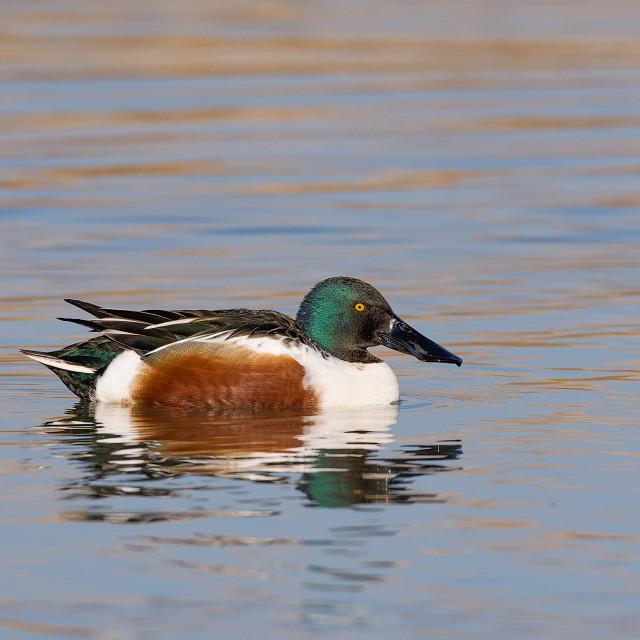 """The northern shoveler (Spatula clypeata) Mestolone (male duck)"" stock image"