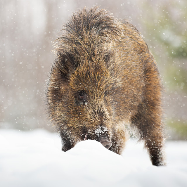 """Young wild boar digging in snow with snout and looking for food in winter"" stock image"