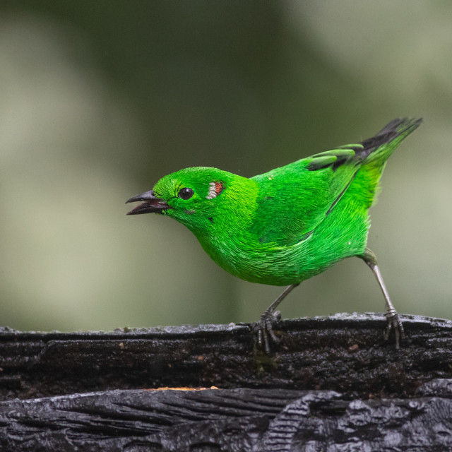 """""""Glistening Green Tanager"""" stock image"""
