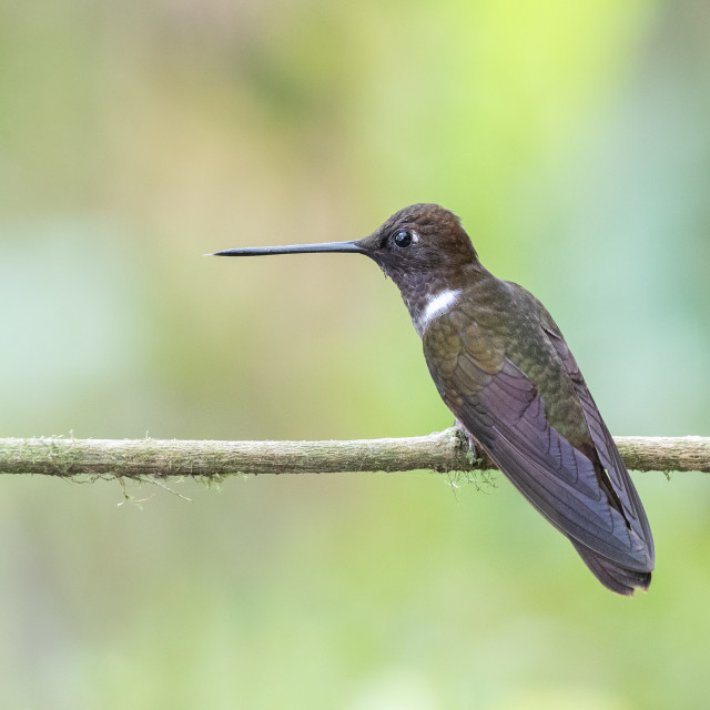 """Brown Inca Hummingbird"" stock image"