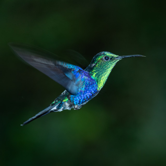 """""""Green Crowned Woodnymph in flight"""" stock image"""