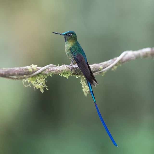 """""""Violet-tailed Sylph"""" stock image"""