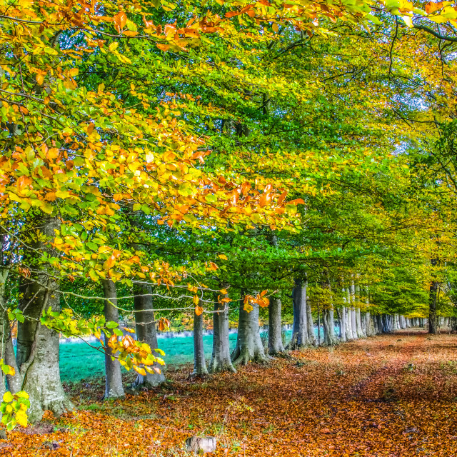 """""""Row of English beech trees in autumn"""" stock image"""