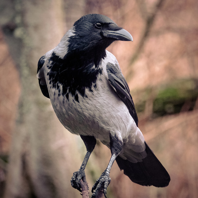 """""""Crow On A Branch"""" stock image"""