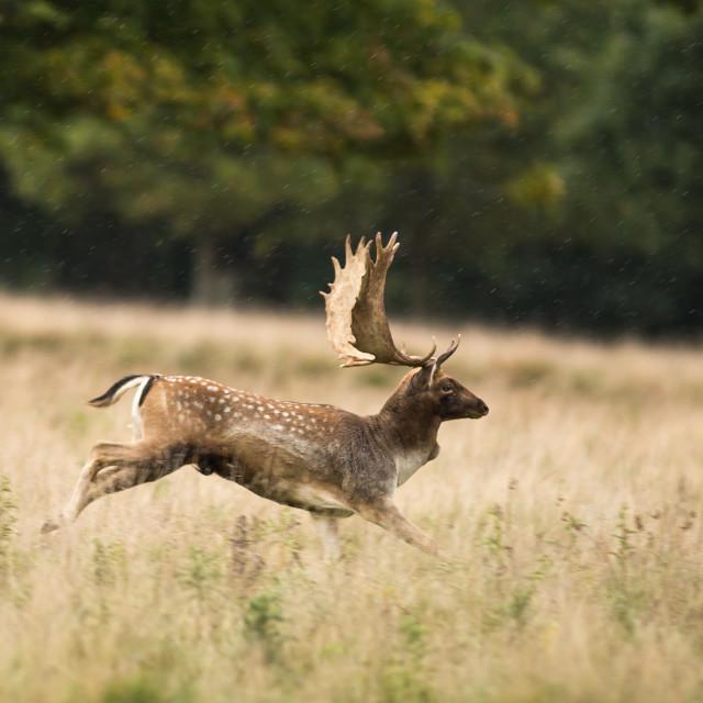 """Fallow Deer Gallop"" stock image"