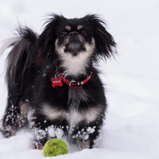 """A dog with snowflakes on fur. Snowstorm, snowfall in Riga city. Riga, Latvia."" stock image"