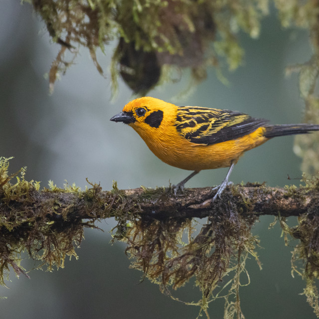 """""""Golden Tanager"""" stock image"""