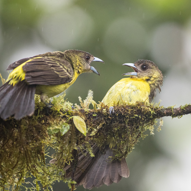 """""""Fame jumped Tanagers"""" stock image"""