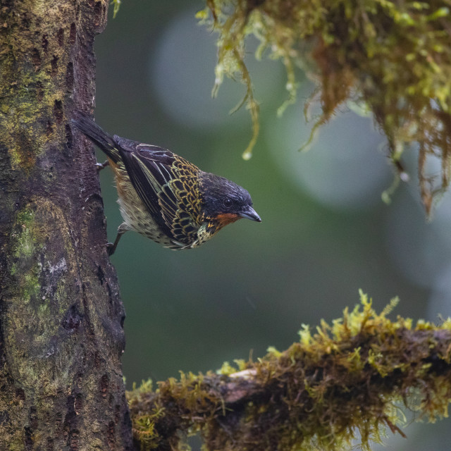 """""""Rufous throated Tanager"""" stock image"""