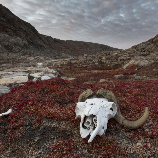 """""""A muskox skull waits on the shore"""" stock image"""