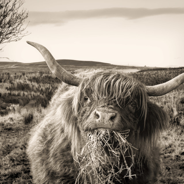 """""""Hungry Highland Cow"""" stock image"""