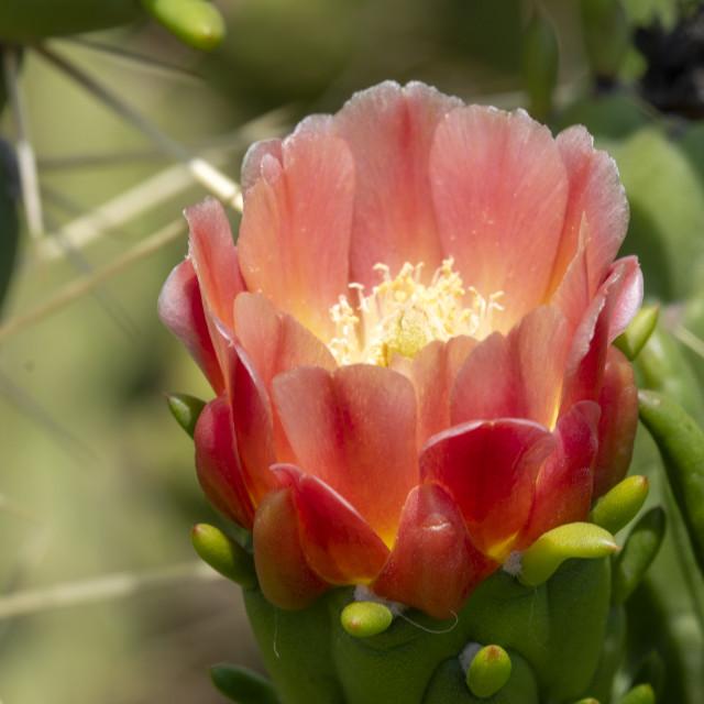 """Cactus flower"" stock image"