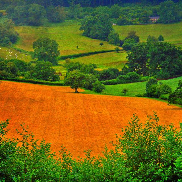 """The Golden Field - Garway, Herefordshire"" stock image"