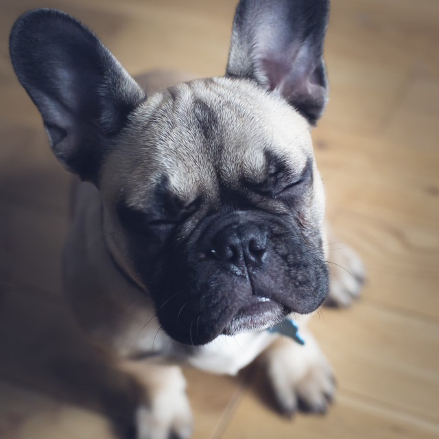 """French bulldog puppy with eyes closed"" stock image"