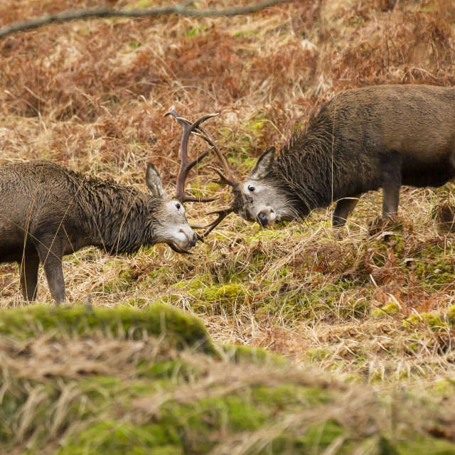 """Reindeer rutting in the wild"" stock image"