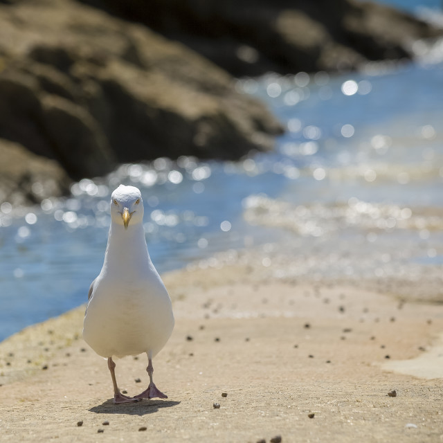 """A seagull standing by the sea looking at the camera"" stock image"