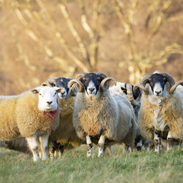 """A flock of sheep on farmland"" stock image"