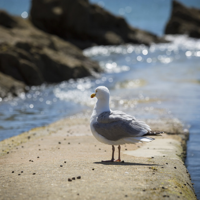 """Seagull standing by the sea"" stock image"