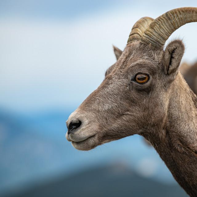 """Rocky Mountain Bighorn Sheep"" stock image"
