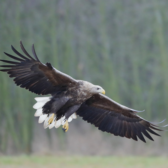 """A White-tailed eagle in full flight"" stock image"