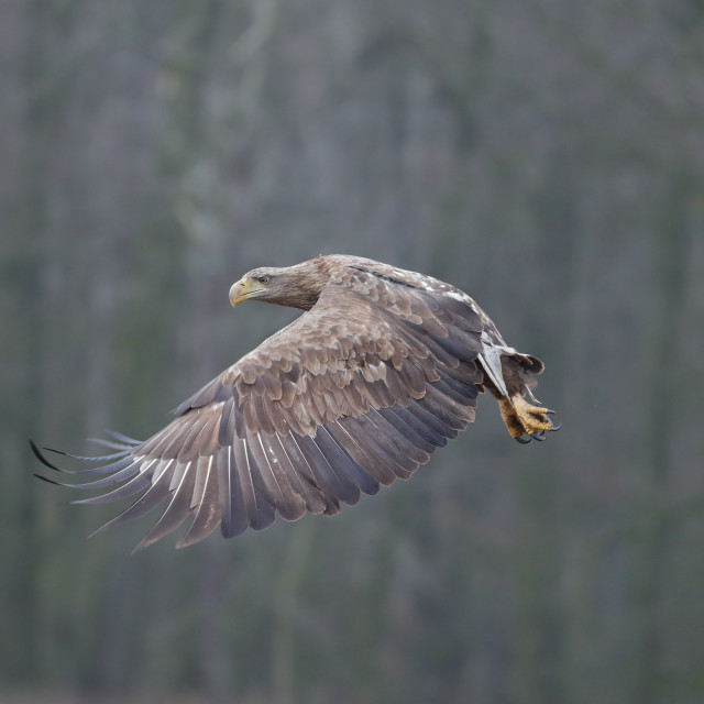 """A White-tailed eagle in flight"" stock image"