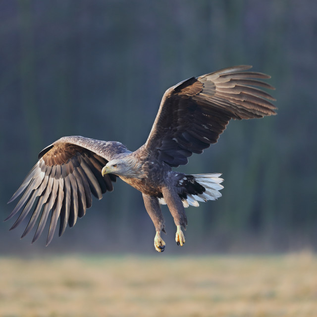 """A White-tailed eagle in golden light"" stock image"