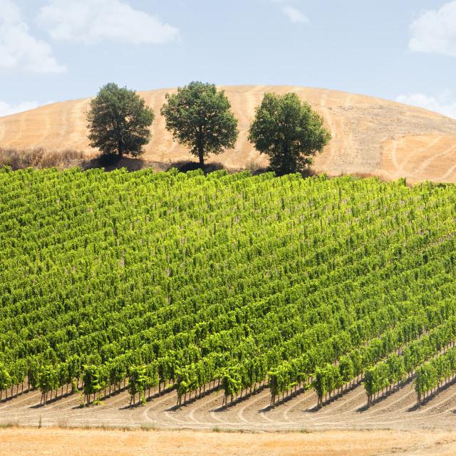 """""""Italy Tuscany - Vinyard"""" stock image"""