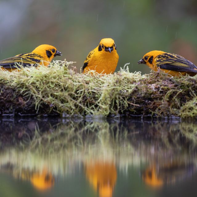 """""""Golden Tanagers"""" stock image"""