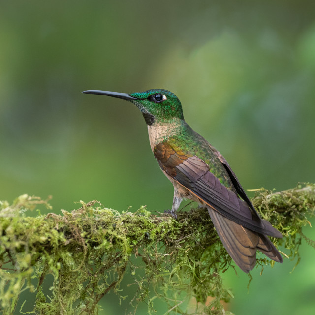 """Fawn breasted Brilliant Hummingbird"" stock image"