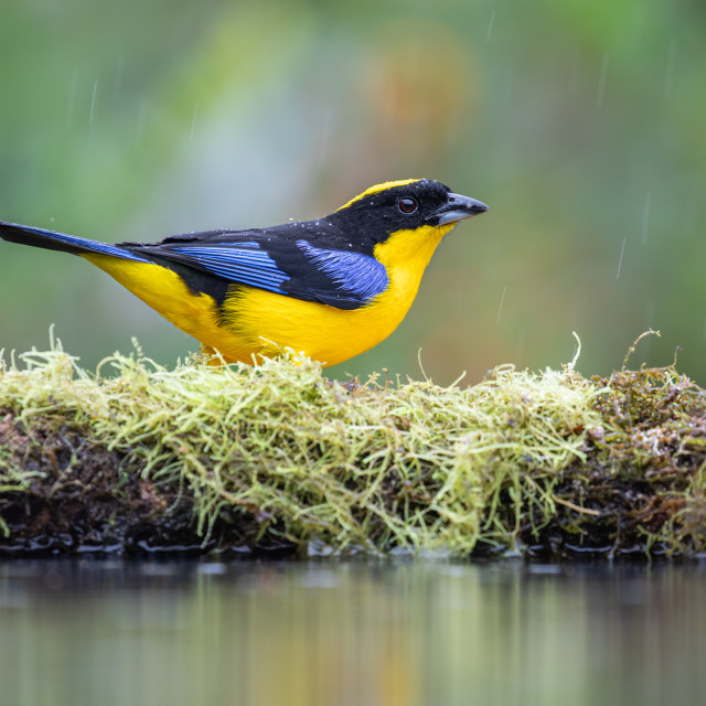 """Blue winged Mountain Tanager"" stock image"