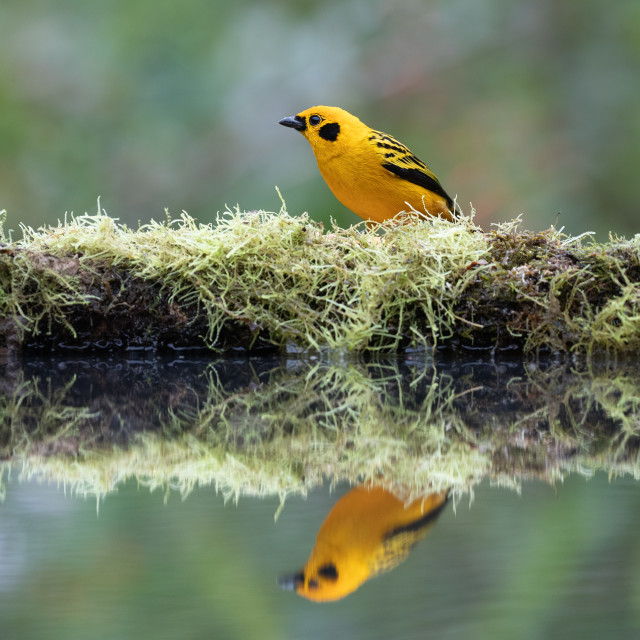"""Golden Tanager reflecting"" stock image"