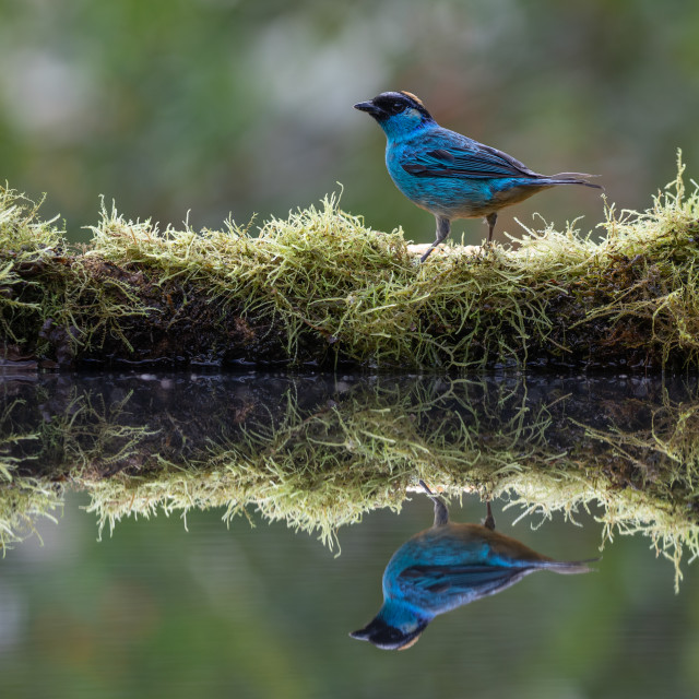 """Golden naped Tanager"" stock image"