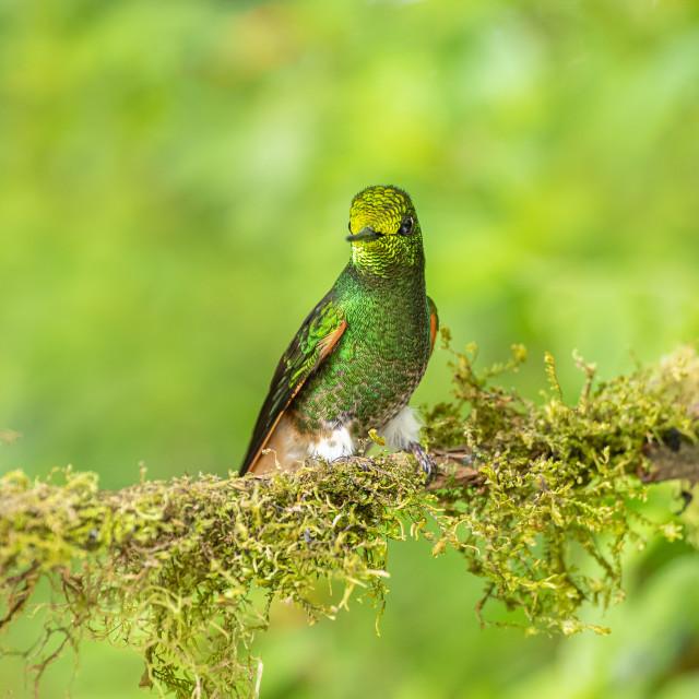 """Buff Tailed Coronet Hummingbird"" stock image"