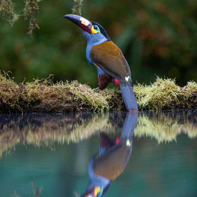 """Plate billed Mountain Toucan"" stock image"