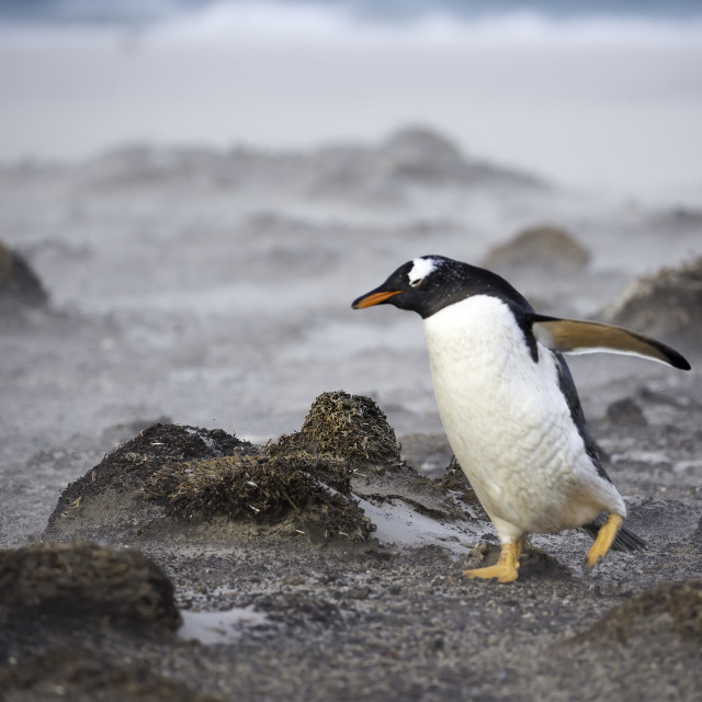 """""""A gento penguin working agains the wind"""" stock image"""