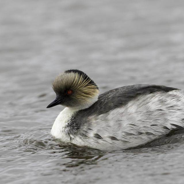 """Silver grebe Podiceps occipitalis"" stock image"