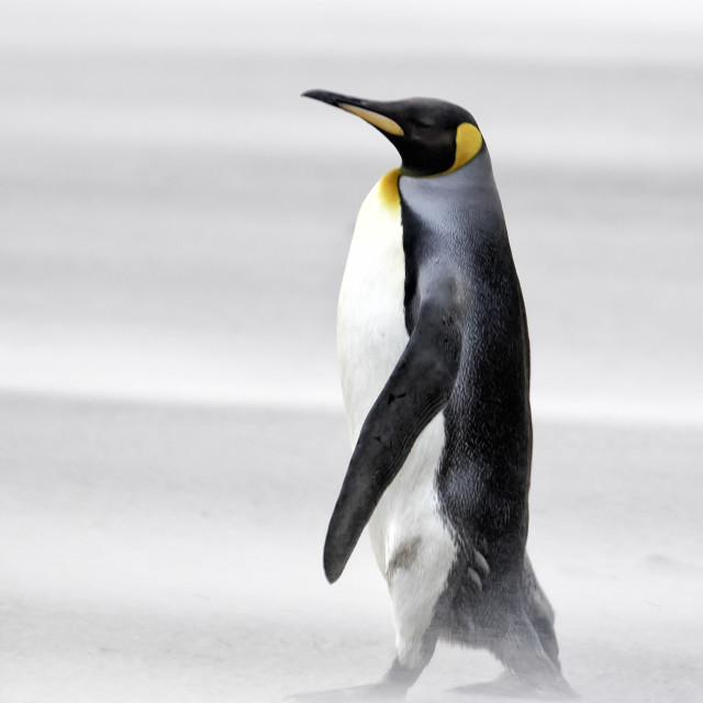 """""""A sandstorm does not disturb the dignity of a King penguin"""" stock image"""