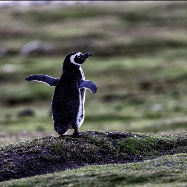 """A Magellanic penguin enjoys a Falklands rain"" stock image"