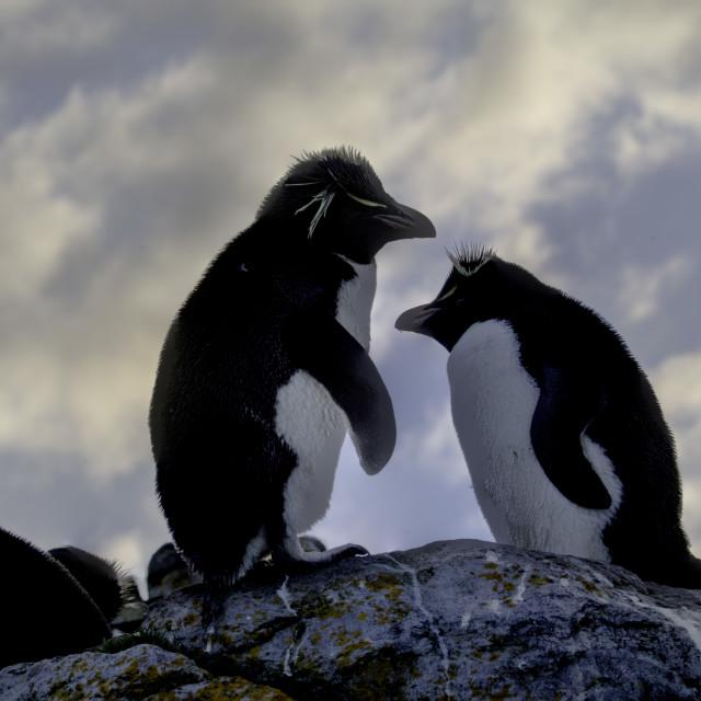 """""""Southern Rockhopper Penguins at sunset"""" stock image"""