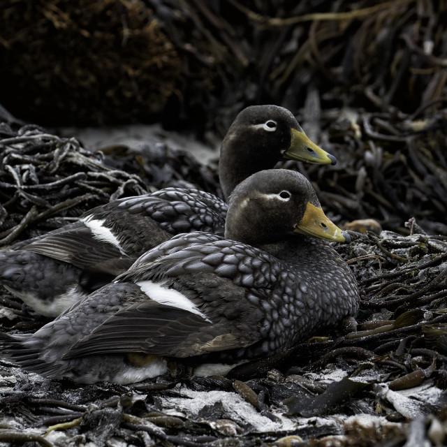 """Flightless steamer ducks Tachyeres brachypterus"" stock image"