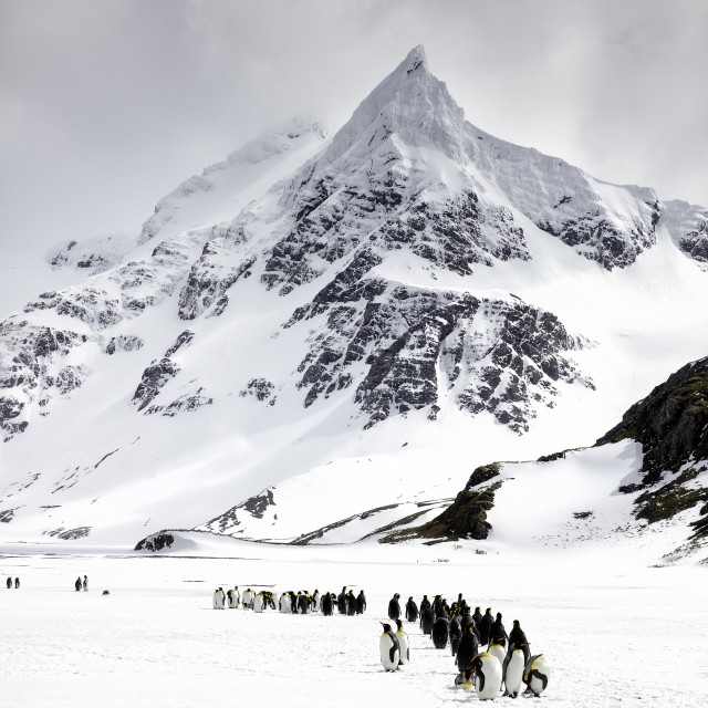 """King penguins line up in front of a South Georgia peak"" stock image"