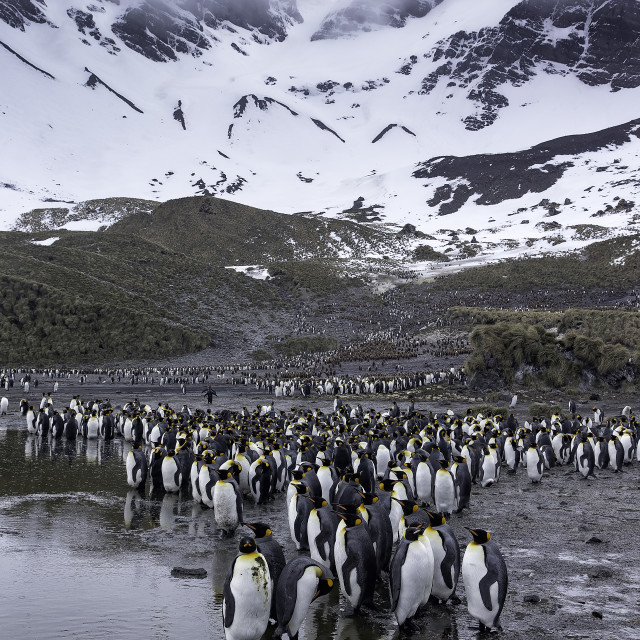 """""""There are hundreds of thousands of King penguins on South Georgia"""" stock image"""