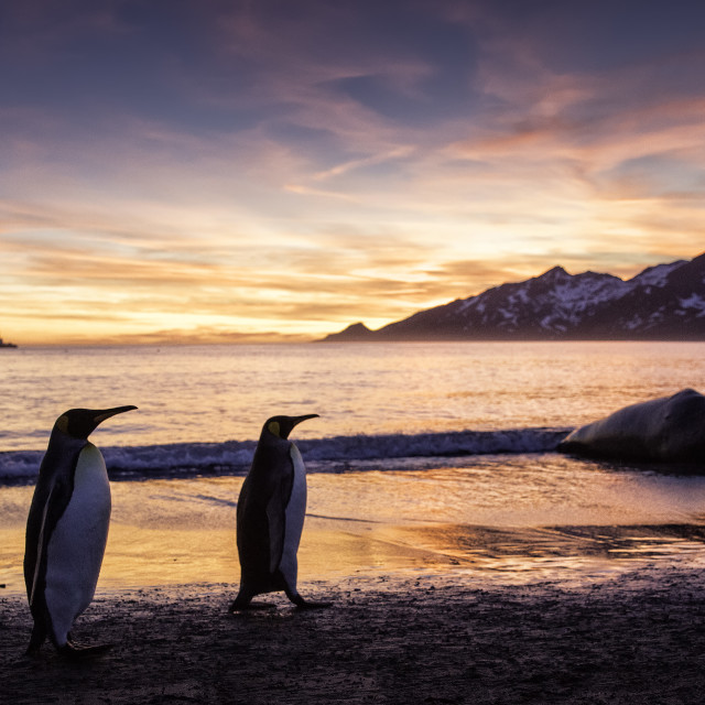 """""""A beautiful sunrise as two King penguins stroo"""" stock image"""