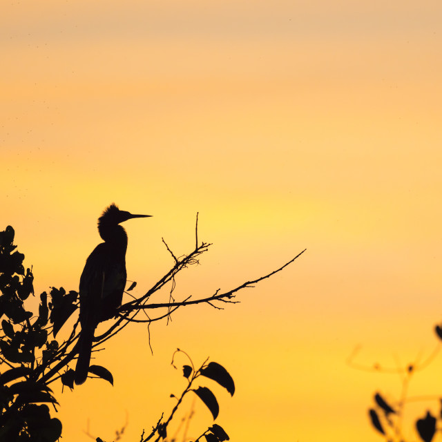 """Adult anhinga, Anhinga anhinga, at sunset in Shark Valley, Everglades..."" stock image"