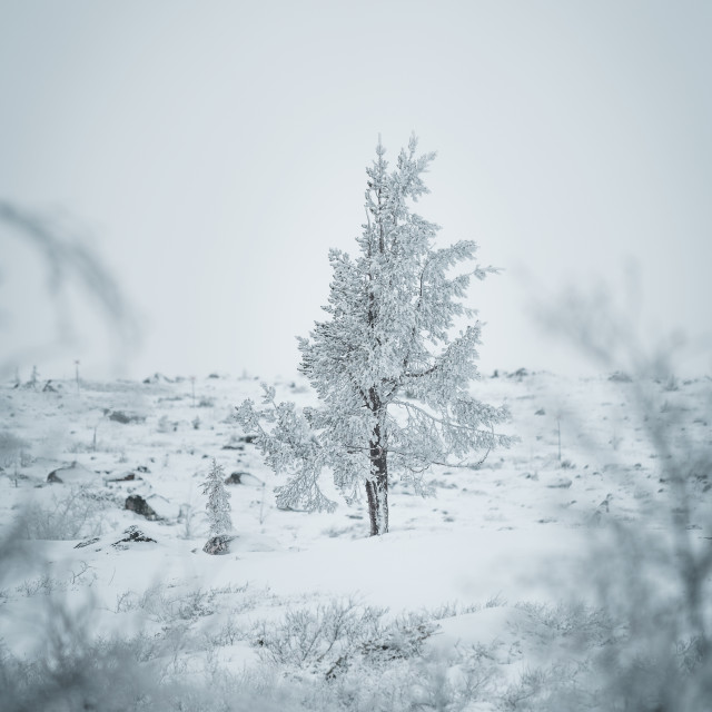 """Snowy trees"" stock image"