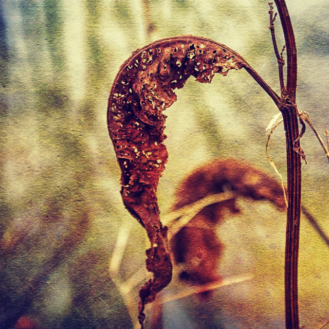 """""""Dying Waterdock Leaf - Milton Lilbourne, Wiltshire"""" stock image"""